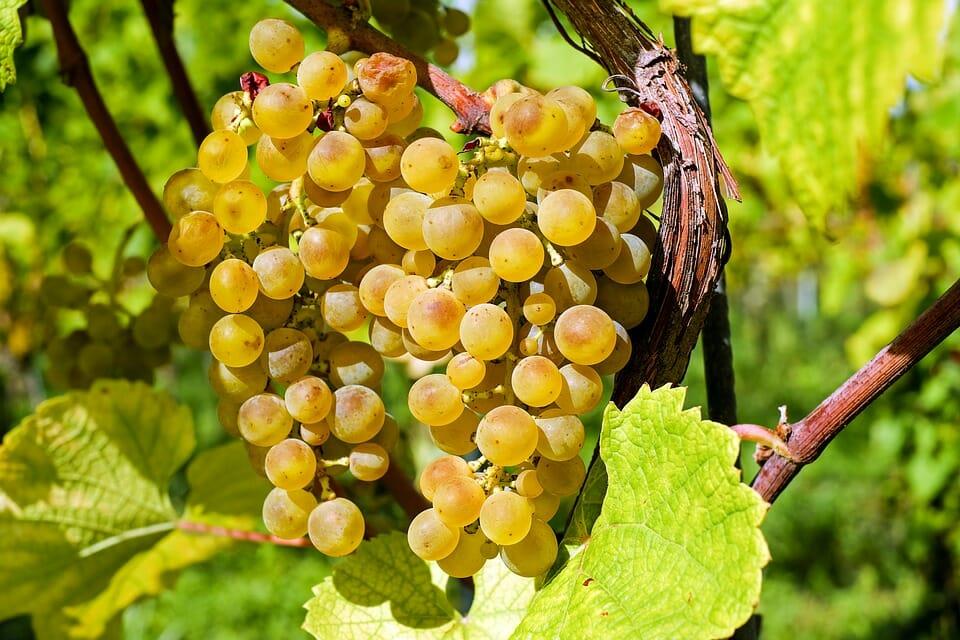 Casi la mitad del vino del mundo se hace con tan solo 12 tipos de uva
