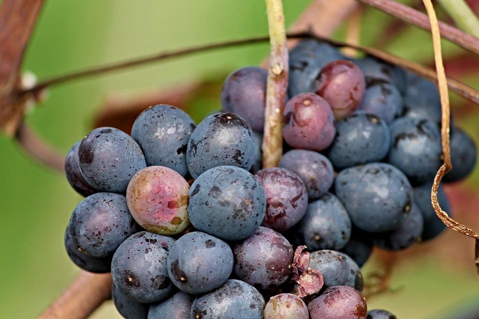 Los calores del verano han venido muy bien a los viñedos franceses
