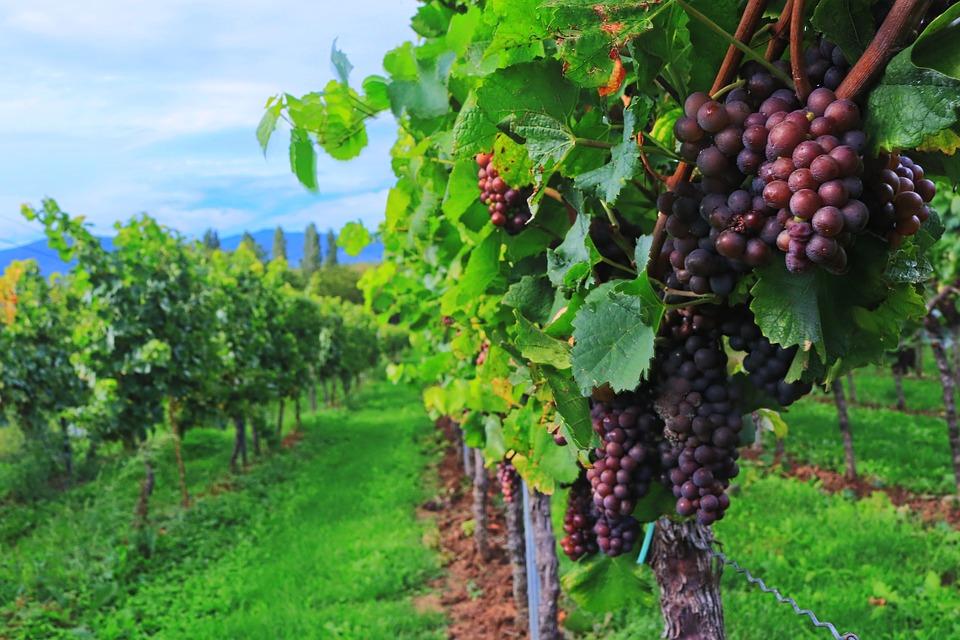 ¿Qué países aumentaron la producción de vino en el mundo el año pasado?