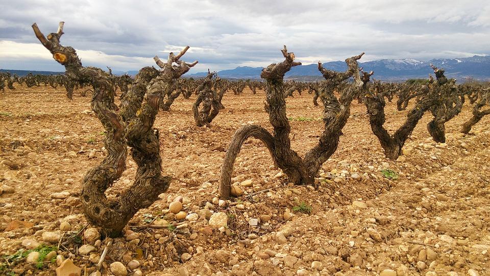 Convocan a Bodegueros y Universidades Españoles a impulsar proyectos de rescate de viñedos antiguos