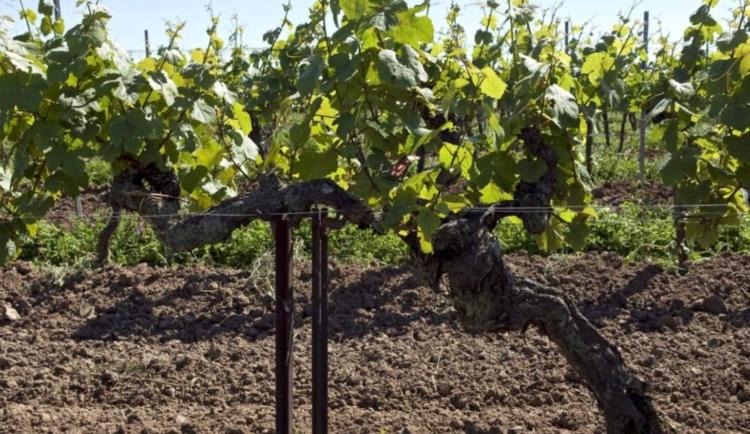 El viñedo más antiguo del mundo