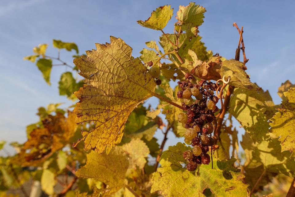 La ola de calor arrasa viñedos en las denominaciones de origen catalanas