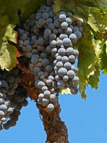 grape-1702409 960 720