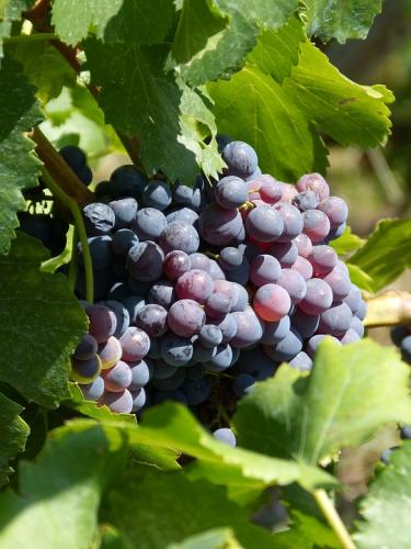 grapes-2708236 960 720